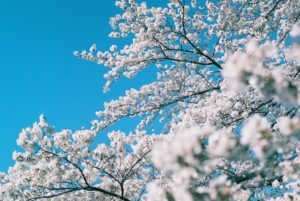 桜と空(Nikon F2)