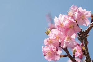 ピンクの桜(Nikon D5500)