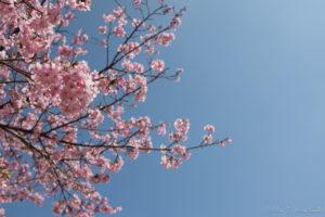 空と河津桜(Nikon D5500)