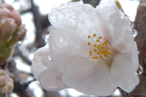 濡れた桜(FUJI XF1)