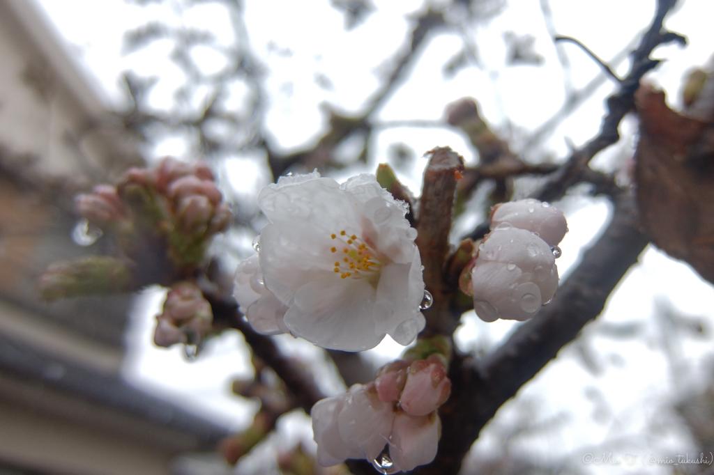 濡れた桜(遠)(FUJI XF1)