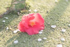 落ちた椿(Nikon D5500)