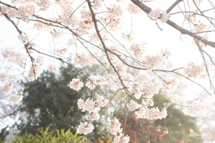 桜とオールドレンズ(Ai Nikkor 50mm F1.4S)