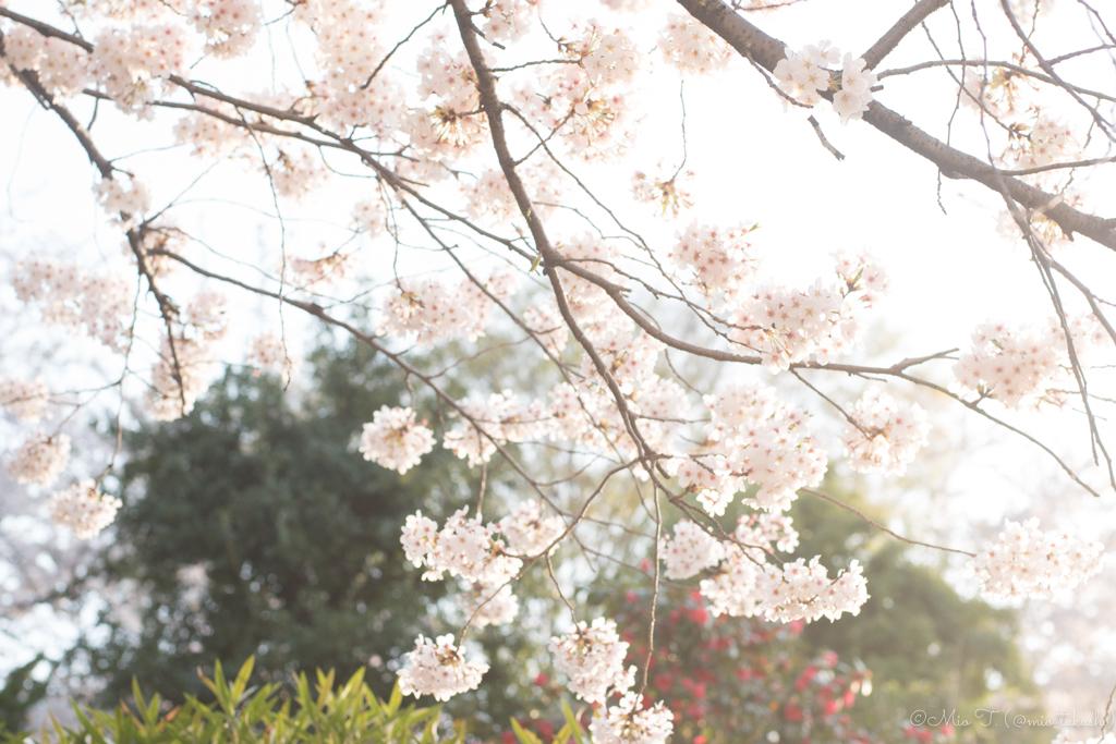 桜の写真2018(Nikon D5500)