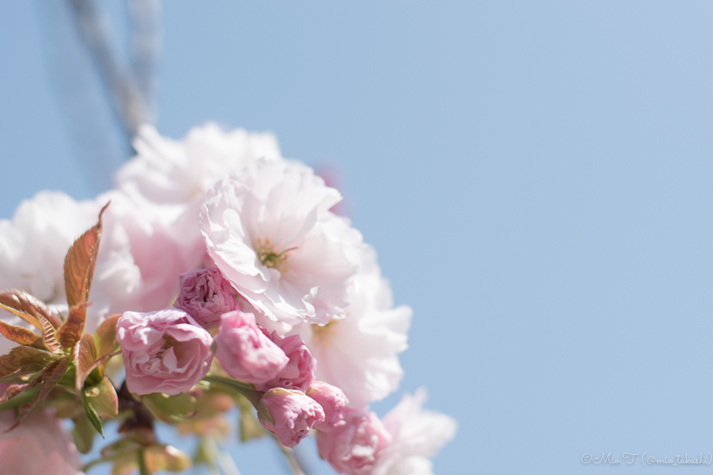 八重桜の写真(Nikon D5500)