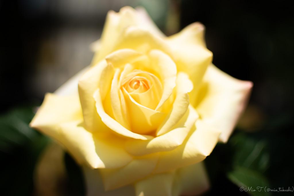 黄色いばらのはな(Nikon D5500)