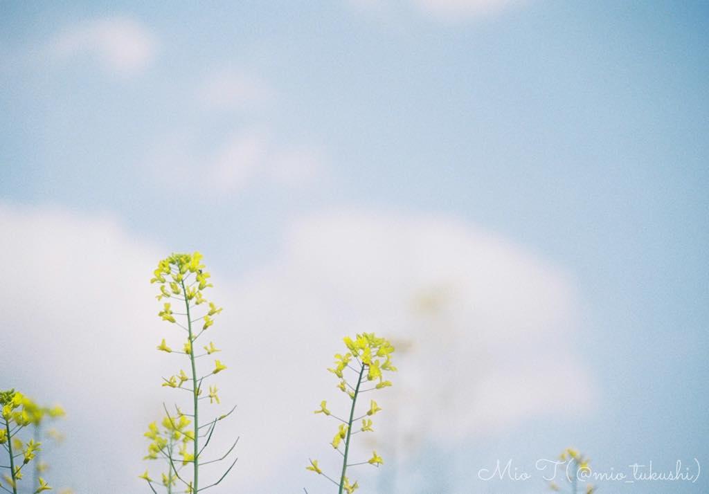 菜の花(Nikon F2)