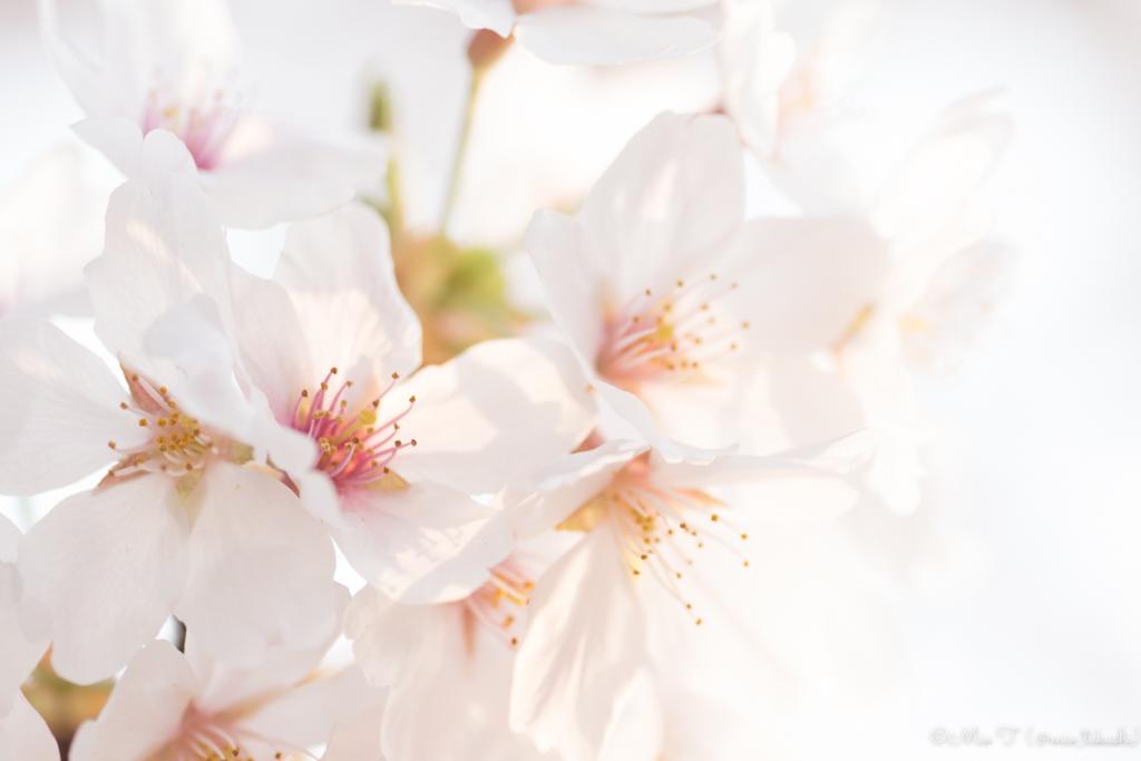 桜マクロ撮影(Nikon D5500)