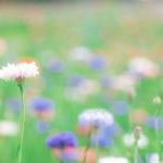 花畑の矢車菊(Nikon D5500)