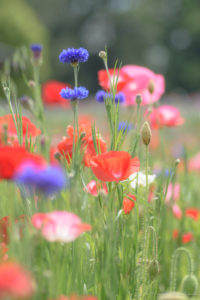 花畑のポピーと矢車菊(Nikon D5500)