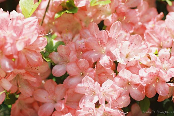一面ピンクのお花(Nikon F2)