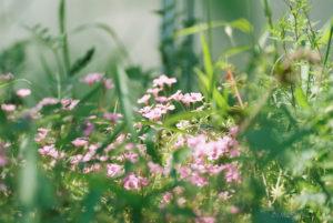 ピンクのお花(Nikon F2)