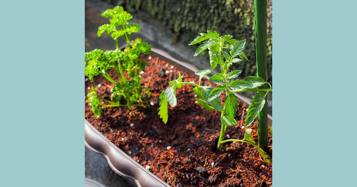 ミニトマト栽培はじめました